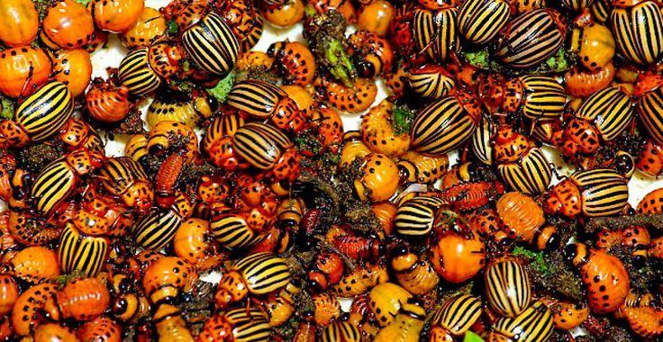 Insecticid bio din gândaci, omizi, limacşi şi alţi dăunători | Paradis Verde