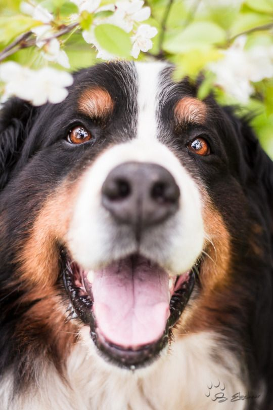 Bernese smile!