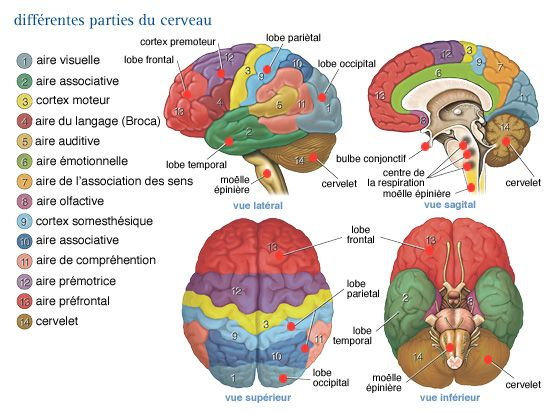 Différentes parties du cerveau et leurs fonctions