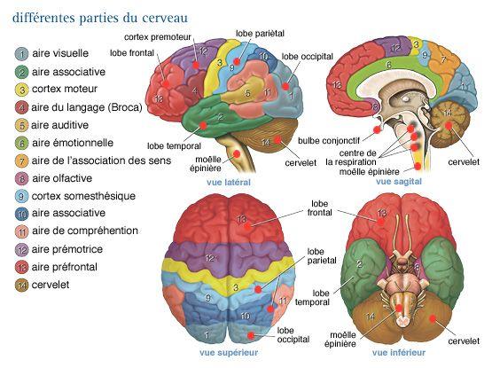 Les différentes parties du cerveau