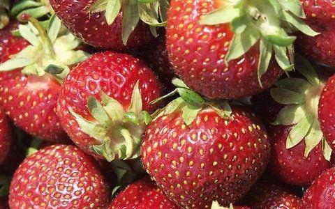 Maasikasaaki tuleb kiusavate kahjurite eest varakult kaitsta - Maakodu.ee
