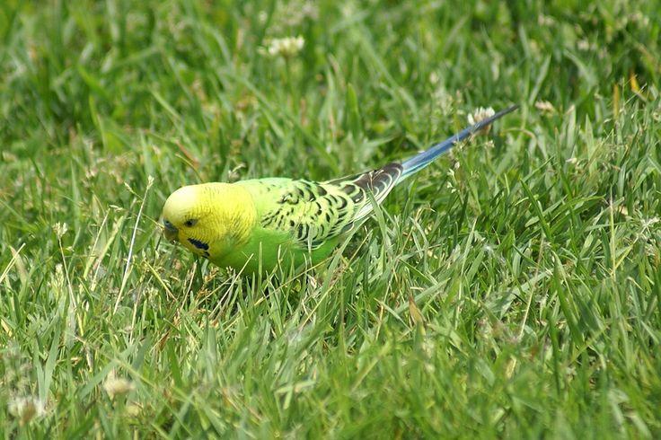 http://faaxaal.forumgratuit.ca/t865-photos-de-perroquets-perruche-ondulee-melopsittacus-undulatus-psittacus-undulatus-budgerigar#3849