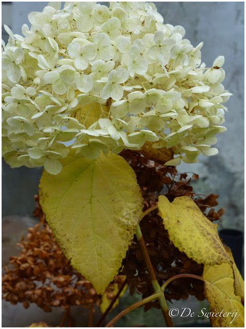 De Swieterij: Hydrangea in fall