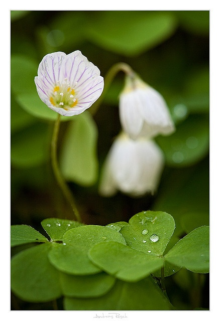 Wood sorrel. A British native plant which grows, as the name suggests, in woodland, often at the base of trees. Beautiful photograph.