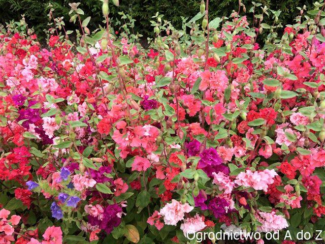 Klarkia Wytworna Clarkia Unguiculata Rosliny Jednoroczne W Ogrodzie Az Ogrodnictwo Blommor