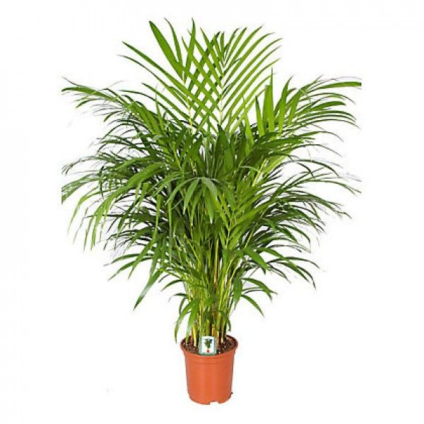 46 best non poisonous houseplants safe for kids and pets for Areca palm safe for cats