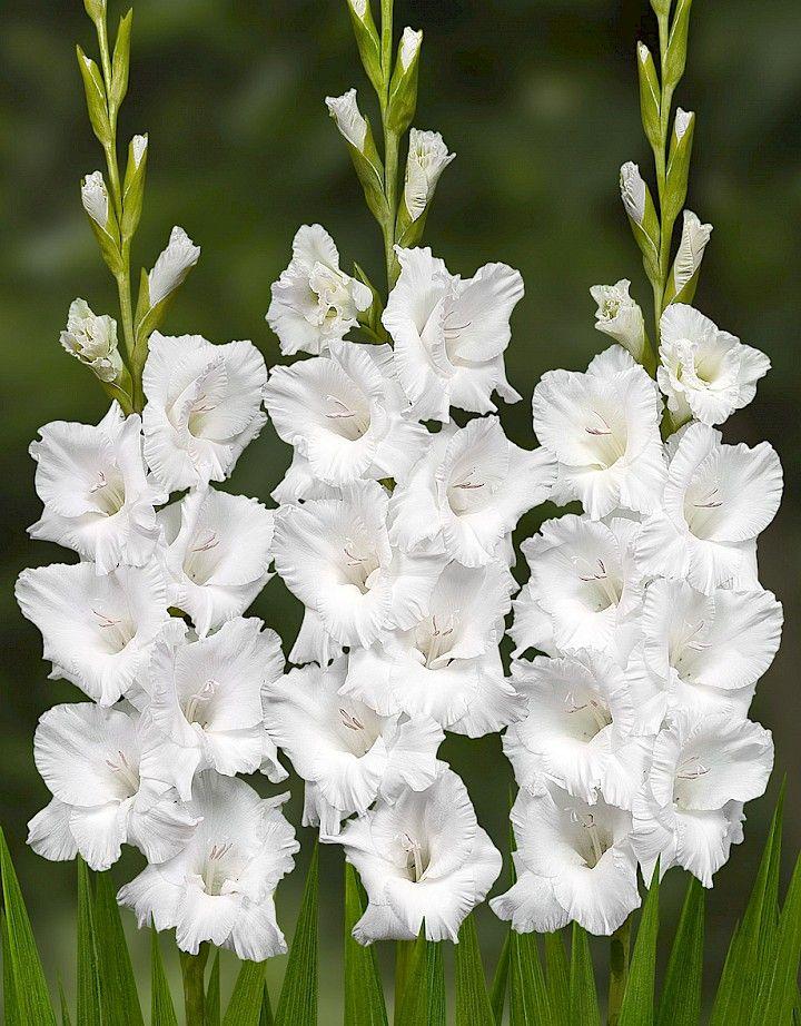 Gladiolus Casablanca Gladiolus Flower Bulb Flowers Gladiolus