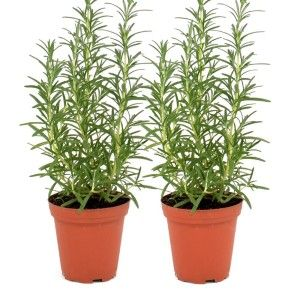 Rosemary Trees This is one of those thoughtful Hostess Gift Ideas as it is a gift that keeps on giving. Wrap the pot with some scrap material and it is a beautiful presented gift.