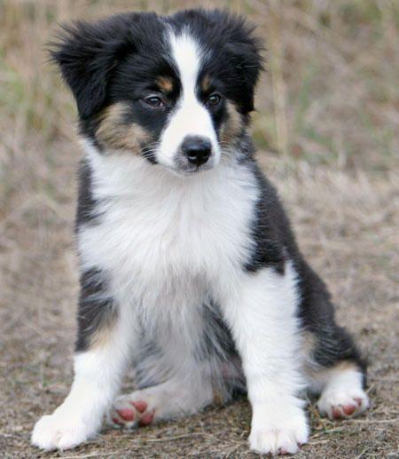 Miniature Toy Australian Shepherd. Cute!!