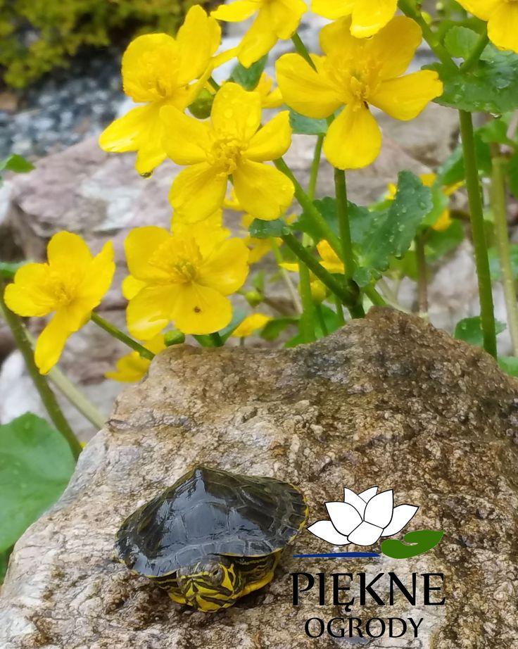 oczko wodne i jego mali mieszkańcy. Wiosną po długiej ziemie wygrzewają się na kamieniach.