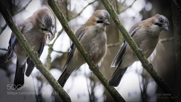 Eichelhäher: Drei Brüder ? -:) (Bewegungsablauf) (Heiko Monson / Berlin / Deutschland) #Canon EOS 5D Mark IV #animals #photo #nature