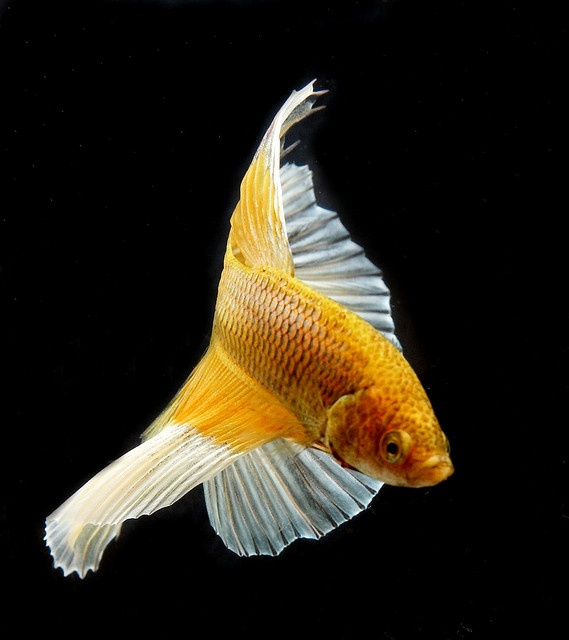 29 best images about i love goldfish fishes on pinterest for Betta fish together