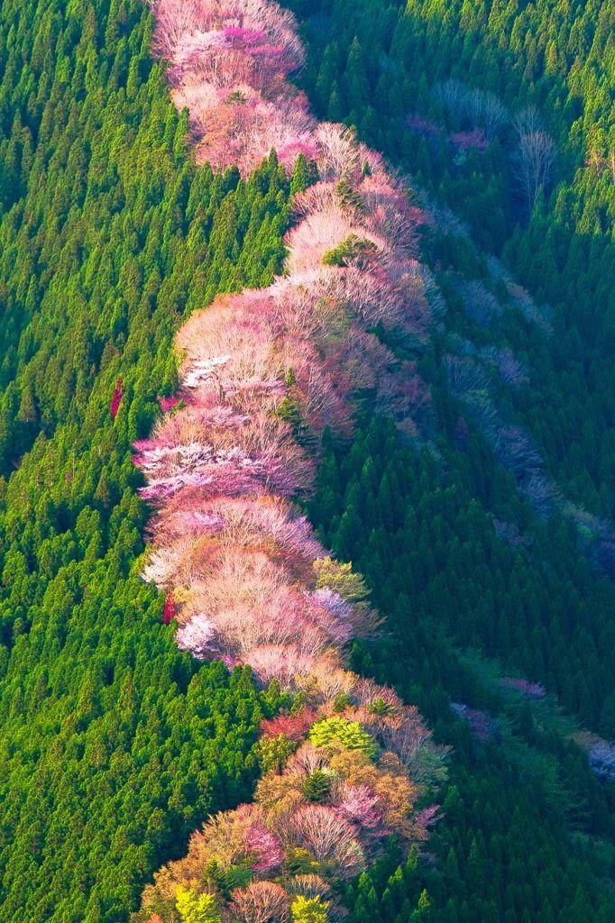 Wild cherry trees in Nara, Japan