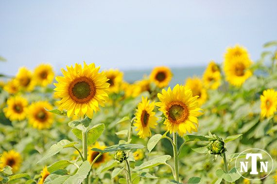 Sunflower Field In Spring Nature Photography by TheNakedNaturalist