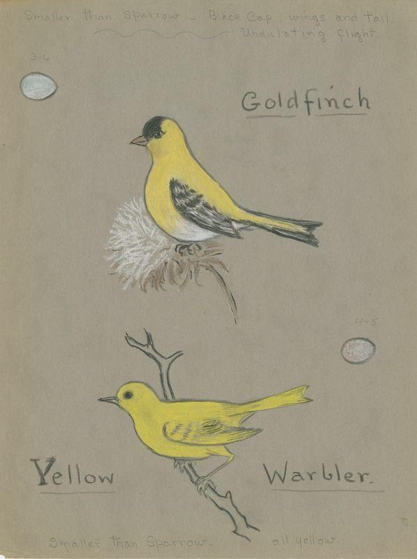 Goldfinch and Yellow Warbler | saskhistoryonline.ca