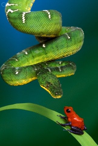Snake Approaching Frog on Plant