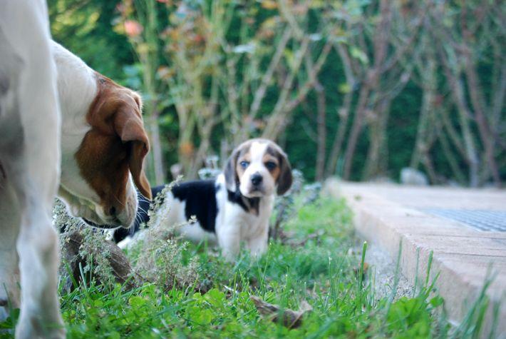#beagle #minibeagle #poketbeagle #beaglepuppy #beaglepuppies #beaglemom