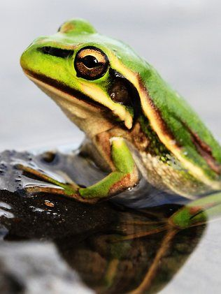 Green and Golden Bell Frog, Sydney Olympic Park