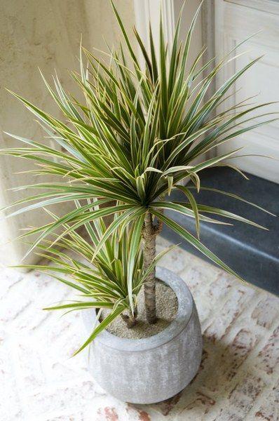 39 best images about the madagascar dragon tree dracaena. Black Bedroom Furniture Sets. Home Design Ideas
