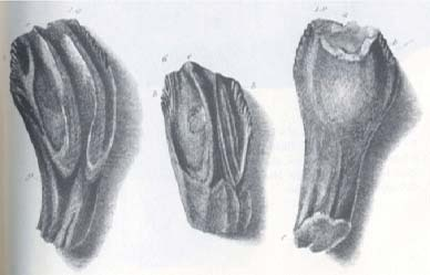 pen and ink drawings by Mary Ann of the fossilised teeth she had found