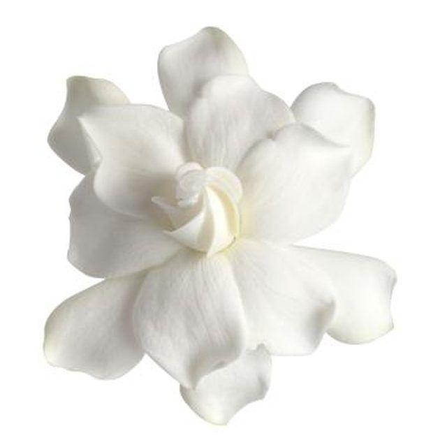The dwarf gardenia produces fragrant blooms.