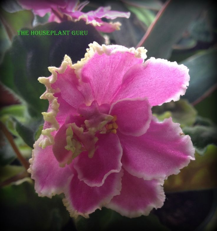 Sheer Romance African Violet African Violets Pinterest