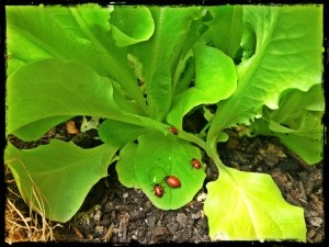 Get rid of aphids naturally