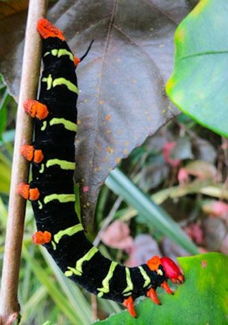 "St. Lucia. Even caterpillars have ""rasta"" colors. @  Alberto Montaudon"