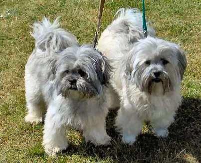 lhasa apsos <3: Pet Shop, Dogs S Favorite, Families Pet, Lhaso Apso, Pet Animal, Dogs Th, Lhasa Apso, Favorite Pet, Dogs Reminder