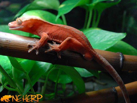 1000 Ideas About Gecko Vivarium On Pinterest Crested