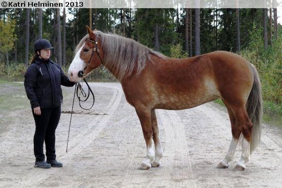 Finnhorse mare Ilon Meininki, b. 1999 FIN, by Ero-Valo out of Ilo-Ajatus by V.T. Ajatus.