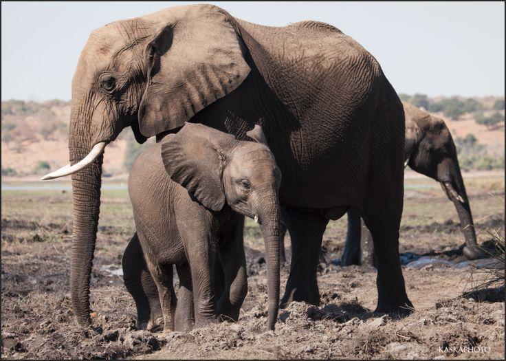 Happiness of life photo by Kaśka Sikora  www.kaskaphoto.com #chobe  #chobenationalpark     #botswana #Africa #safari   #nature #naturephotography   #animals #elephants #Sikora #KaśkaSikora #choberiver #KatarzynaSikora #KaśkaPhoto #FotografWarszawa