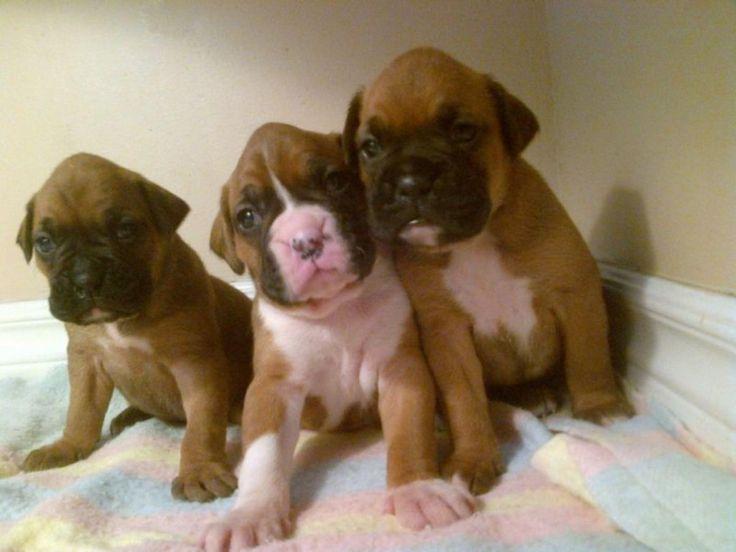 Purebred Boxer Puppies | Dog Breeds WallpapersDog Breeds Wallpapers