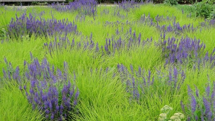 Sesleria autumnalis http://www.shootgardening.co.uk/plant/sesleria-autumnalis… with Salvia in Potters Fields Park, London Design by Piet Oudolf