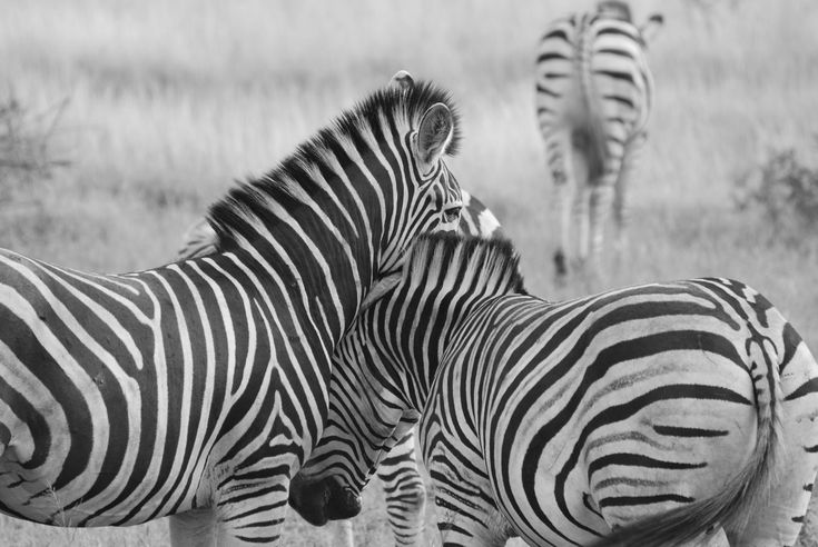 Black and white photography for wildlife concentrates on different tones, contrasts (like the stripes of a zebra), patterns and textures.