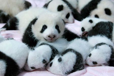 Bayi-bayi panda lucu.