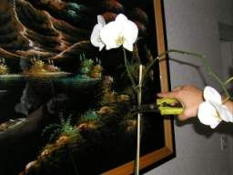 Fin de floraison et départ d'une autre floraison, faire refleurir une orchidée