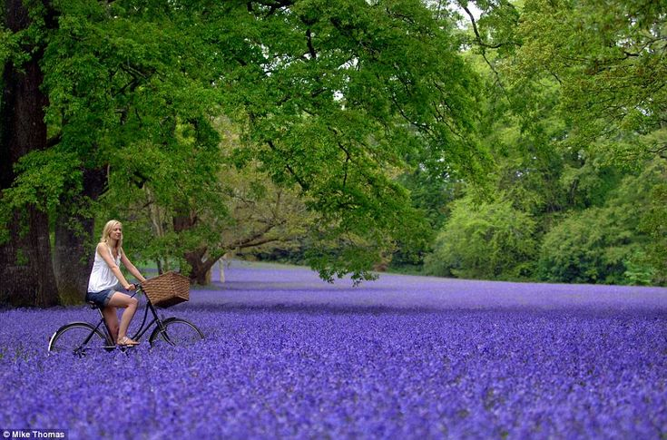 Cycling through a sea of bluebells in Cornwall | photographed by Mike Thomas via Daily Mail #uk
