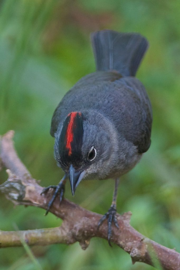 Image Result For Crimson Breasted Finch Rhodospingus Cruentus Dyr Fugle Billeder