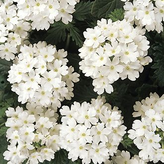 Verbena Aztec Magic White