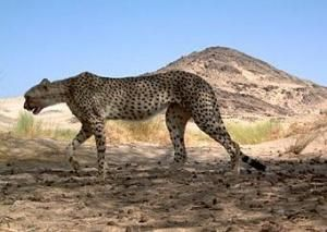 Wildlife Conservation Society-supported survey of the Sahara has captured the first camera-trap photographs of the critically endangered Sah...