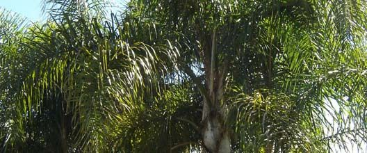 La palmera pindó o ybá pitá   -  Syagrus romanzoffiana             FUNDACIÓN TEMAIKÈN - Pindó