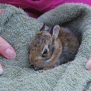 How to Nurse or Care for a Wild Baby Rabbit | eHow