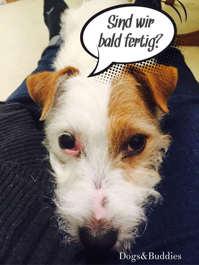 Luxury Hundeblog dogsundbuddies Mickey Parson Russell Terrier Parson Russell Parson