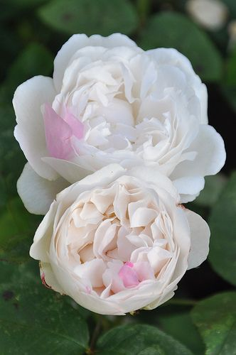 David Austin Rose ~  'Winchester Cathedral'