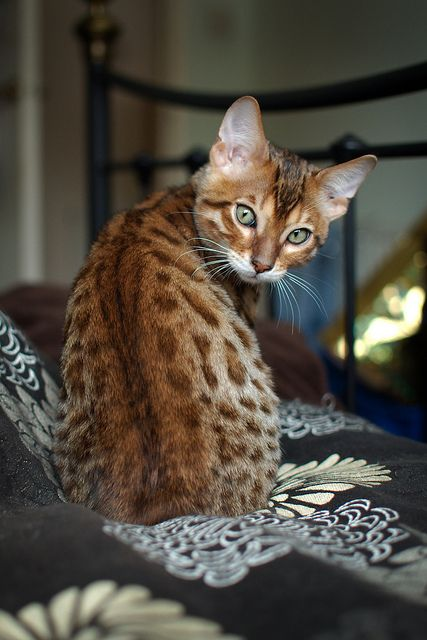 """""""A cat will let you sleep on the bed - on the edge."""" Jenny DeVries. Bengal kitty ~"""