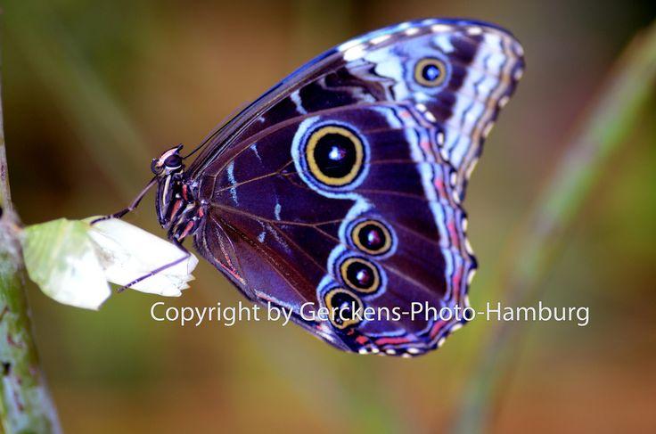 Blue Morpho - Blauer Morphofalter (Morpho peleides) - Himmelsfalter - (Nymphalidae) - Peleides Blue Morpho - Common Morpho - The Emperor | Flickr - Photo Sharing!