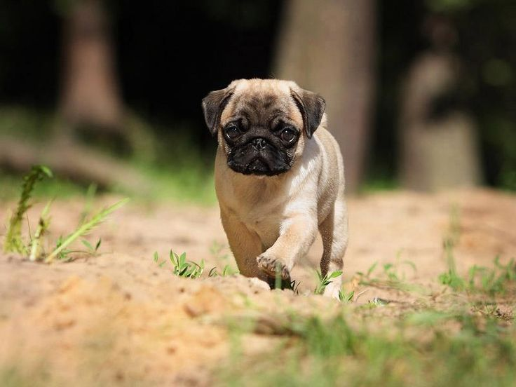 Pug Wallpapers - Gallery Image Mrfab