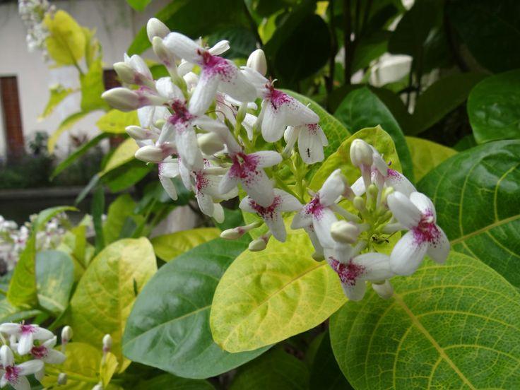 Graptophylum Pictum