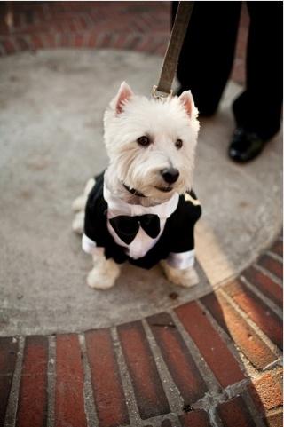 westie in a suit